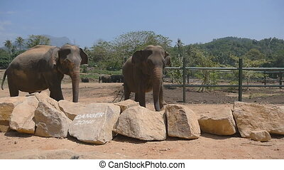 Two elephants standing at the zoo and sprinkles sand itself....