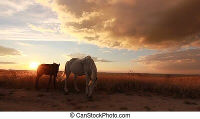 two horses on meadow at colorful sunset - two white and...
