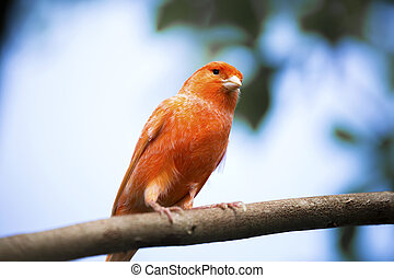 Red canary on its perch in front - Red canary, Serinus...