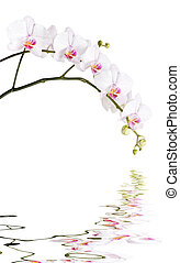 Branch of white orchids - Long branch of white orchids...