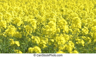 Big field of yellow flowers. Middle shot.
