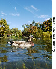 Duck Ducks - a duck swimming in a beautiful clear lake