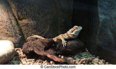 lizard on a rock - close up of lizard on a rock