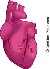 Human heart vector illustration. Cardiac anatomy