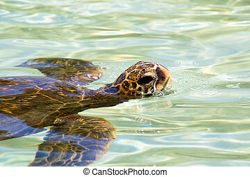 Green sea turtle (Chelonia mydas) swimming in the shallow...