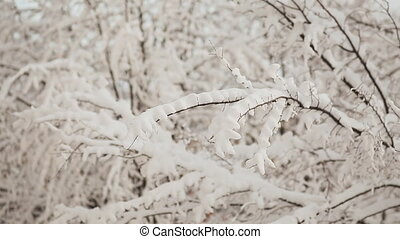 Russian winter. Tree branches in the snow. Christmas time.