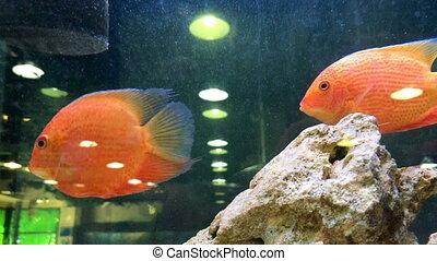exotic fish swim in the Aquarium - close up of exotic fish...