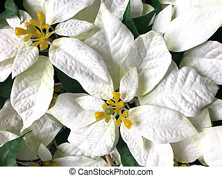 Beautiful white Poinsettia christmas flower - Top view of...