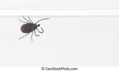 Ixodes tick creeping, close-up - Ixodes tick plod along the...