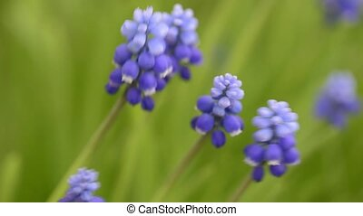 Muscari with blue flowers close-up blown by the wind