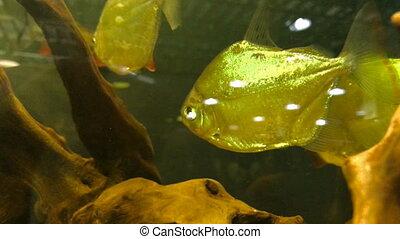 colourful exotic fish swim in the Aquarium close up