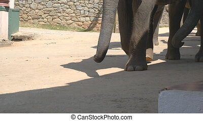 Flock of elephants walking down the street. Close up of paws...