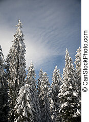 Snowy trees - Winter trees in mountains covered with fresh...