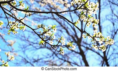 Blossoming tree in spring time or summer