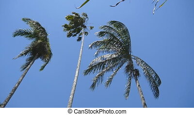 The wind shakes the palm trees. Slow motion.