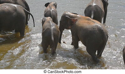 Herd of elephants bathe in river or lake. Slow motion.