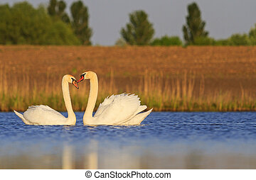 pair of beautiful swans dancing in a marriage