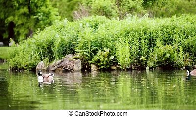 Mallard duck in pond - Mallard, wild duck - Anas...