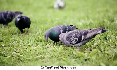 Pigeons birds in city park - Beautiful hungry pigeons birds...