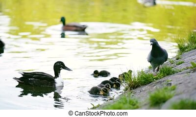 Mallard duck in pond - Mallard, wild duck - Anas...