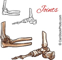Bone and joint sketch of human foot, elbow, ankle