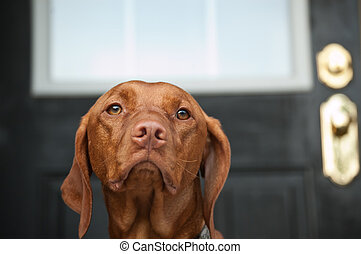 Sad Looking Vizsla Dog Waiting by the Door - A sad looking...