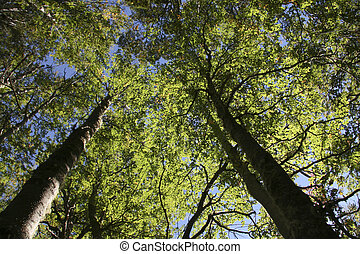 Beech trees in Patagonia