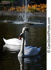 Two swans - Two white swans on the lake in the city park