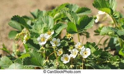 Blooming strawberry white flowers in the garden