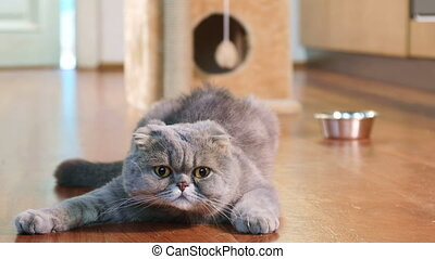 Scottish Fold cat indoors - Scottish Fold cat is lying on...