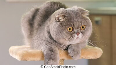 Gray Scottish Fold cat - Purebred Scottish Fold cat resting...