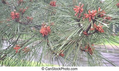 Droplets of rain on the fir-tree needles pine branch with...