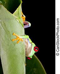 Red eyed frog behind leaf