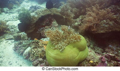 Clownfish Anemonefish in anemone. - Clown Anemonefish, in...