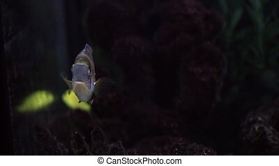 Aquarium with perch, closeup - Aquarium with perch looking...