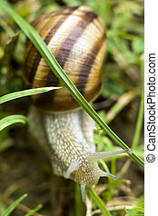 Big snail crawling in grass and feeds