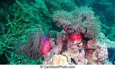 Anemone actinia and bright orange clown fish on seabed underwater of Maldives.
