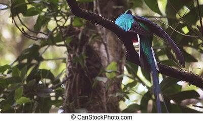 Quetzal bird cleaning over tree branch - Closeup view of...
