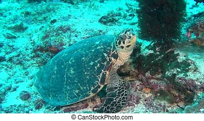 Green sea turtle on clean clear seabed underwater in...