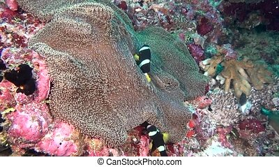 Anemone actinia and bright clown fish on seabed underwater of Maldives.