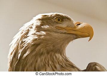 Sea eagle - Head of a sea eagle