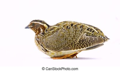 wild quail ( Coturnix coturnix) isolated on a white...