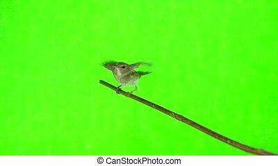 nightingale (Luscinia luscinia) slowmotion, isolated on a...