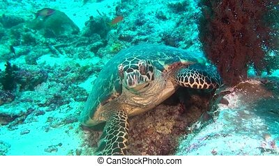Green sea turtle on clean clear seabed underwater in Maldives.