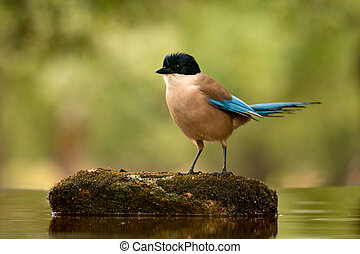 Small bird with blue tail on a stone in the middle of the lake
