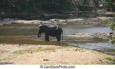A large african elephant bathes in river or lake. Slow...
