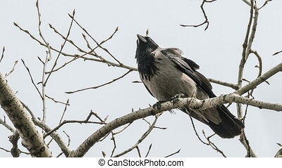 Grey crow sits on a branch