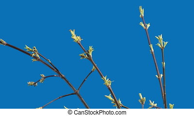 Maple Leaves - Leaves of a maple are dismissed on a blue...