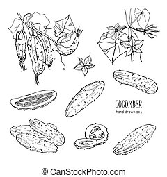 Set of different cucumber, on branch, flowering. Cuke slices, cut along, top view, from side. Contour vector hand drawn illustration on white background.