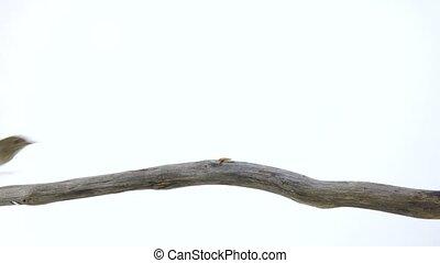 nightingale (Luscinia luscinia) isolated on a white...